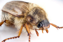 Cockchafer macro isolated Royalty Free Stock Images