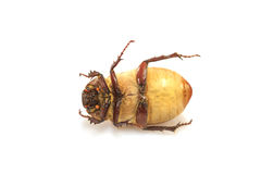 Cockchafer, May bug on white Stock Images