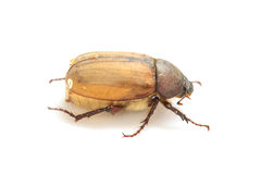 Cockchafer, May bug on white Royalty Free Stock Photo