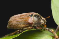 Cockchafer - Melolontha melolontha Royalty Free Stock Photography