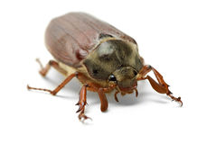 Cockchafer (Melontha vulgaris) Stock Photography