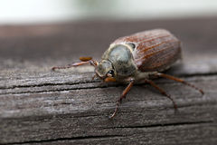 Cockchafer in the Outdoor Royalty Free Stock Images