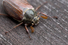 Cockchafer in the Outdoor Royalty Free Stock Image