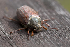 Cockchafer in the Outdoor Royalty Free Stock Photos