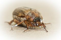 Cockchafer and paint Stock Photos