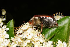 Cockchafer on a pyracantha bush Royalty Free Stock Images
