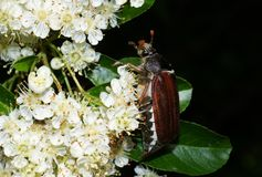 Cockchafer on a pyracantha bush Royalty Free Stock Image
