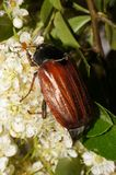 Cockchafer on a pyracantha bush Royalty Free Stock Photos