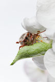 Cockchafer under petal Royalty Free Stock Photos