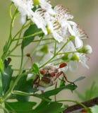 Cockchafer under whitethorn flowers Stock Images