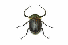 Cockchafer. On the a white background Royalty Free Stock Photos