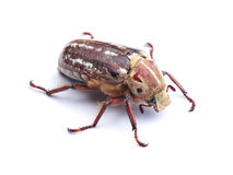 Cockchafer on white stock photography