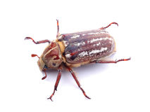 Cockchafer  on white Royalty Free Stock Image