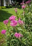 Cockcomb blüht Anlage in Garten, rosa und weißer Farbe, weiches Foc Stockbild