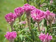 Cockcomb blüht Anlage in Garten, rosa und weißer Farbe, weiches Foc Stockbilder