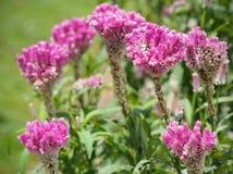 Cockcomb blüht Anlage in Garten, rosa und weißer Farbe, weiches Foc Lizenzfreie Stockfotografie