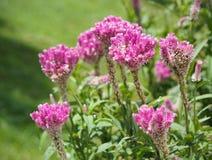 Cockcomb blüht Anlage in Garten, rosa und weißer Farbe, weiches Foc Lizenzfreie Stockbilder