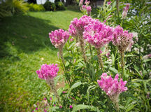 Cockcomb flowers plant in garden, Pink and White Color, Soft Foc. Us Royalty Free Stock Photo