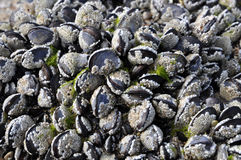 Cockels and barnacles. Bunch of cockels covered by barnacles from the sea Royalty Free Stock Photos