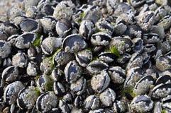Cockels e barnacles Fotos de Stock Royalty Free