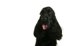 Cocker Royalty Free Stock Images