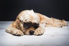 Cocker américain avec des lunettes de soleil Photographie stock libre de droits