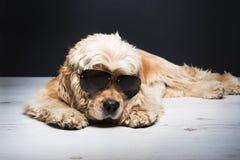 Cocker américain avec des lunettes de soleil Photographie stock