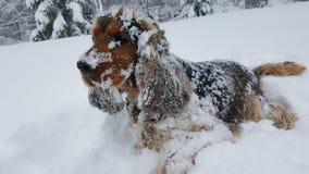 Cocker anglais dans la neige Photos stock