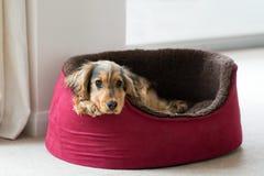 Cocker anglais dans le lit de chien Photos stock