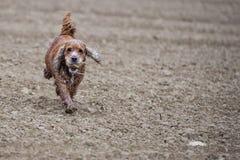 Cocker anglais de chien heureux tout en courant à vous Image stock