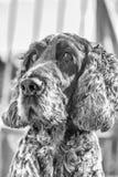 Cocker anglais en noir et blanc Photos stock