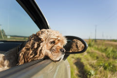 Cocker dans la voiture photo stock