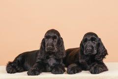 Cocker de l'anglais de chien Photo stock
