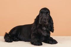 Cocker de l'anglais de chien Photographie stock libre de droits