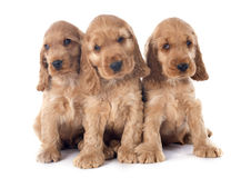 Cocker de l'anglais de chiots Photos stock
