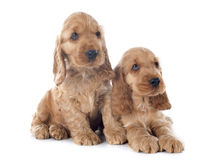 Cocker de l'anglais de chiots Photo stock