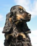 Cocker del cucciolo più spanier Fotografie Stock