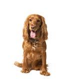 Cocker del perro aislado en blanco Imagen de archivo
