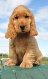 Cocker del perro de aguas del perrito fotos de archivo libres de regalías