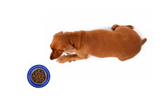 Free Cocker Dog Waiting Food Royalty Free Stock Photos - 52812168
