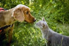 Cocker e gato dourados Imagens de Stock