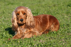 Cocker in the grass. Female purebred english cocker laid down in a field: cute companion Royalty Free Stock Photo