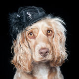 Cocker with hat. Portrait of dog wearing black hat stock photography