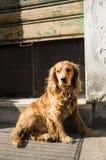 Cocker hond Royalty-vrije Stock Foto's