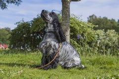 Cocker inglese Spanniel sull'erba verde Fotografie Stock Libere da Diritti