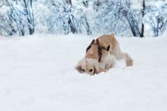 Cocker jouant dans la neige Photos libres de droits