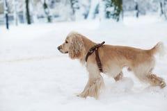 Cocker jouant dans la neige Photographie stock libre de droits