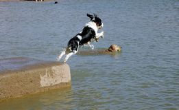 Cocker Jump. Cocker Spaniel jumping into lake with golden retriever swimming below Royalty Free Stock Photography
