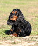 Cocker laid down in the grass. Purebred english cocker laid down in a field: cute companion Stock Image