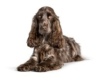 Cocker looking at camera against white background royalty free stock photos
